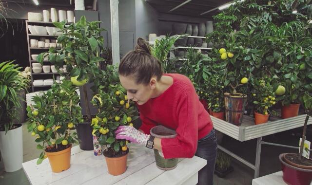 Katarzyna Kuźma podpowiada, jak sadzić cytrusy